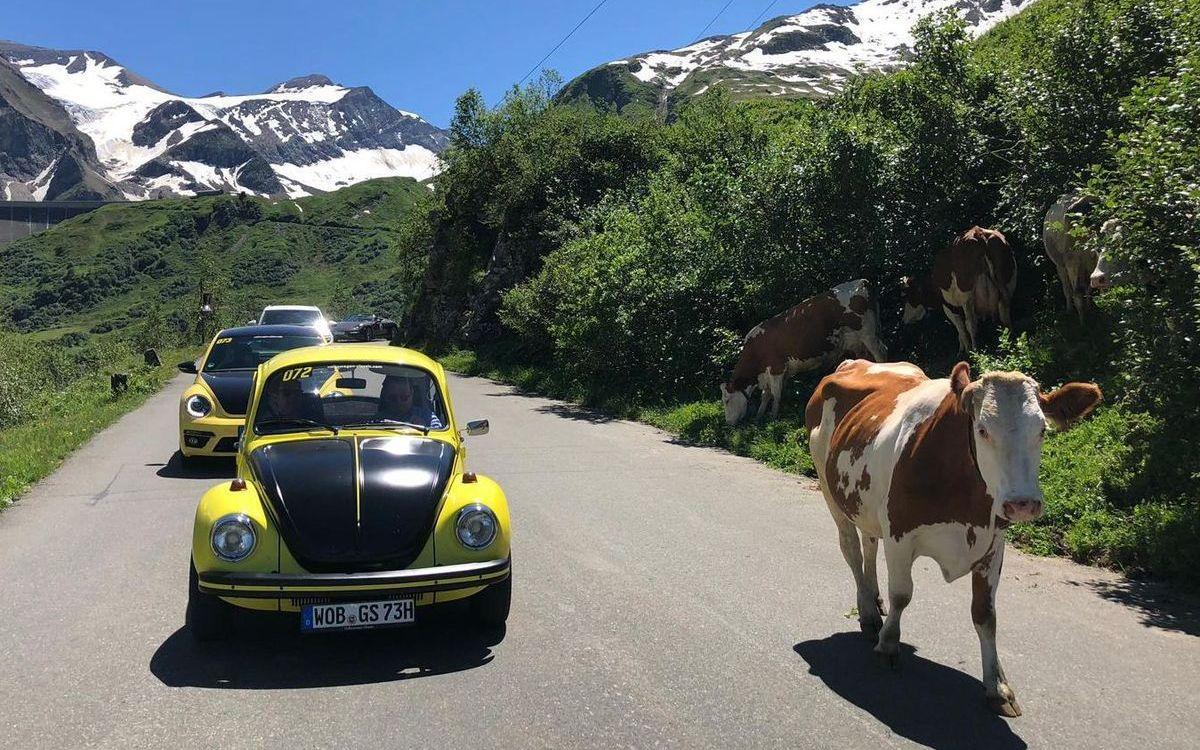 Käfer und Kuh: Begegnungen der besonderen Art.